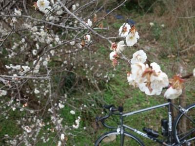 梅の花は満開です