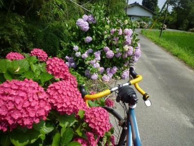 乾いた紫陽花は 残念感